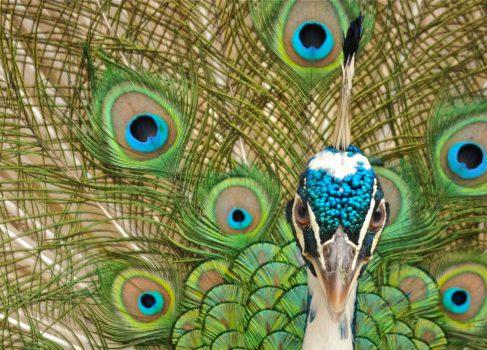 Как перо павлина стало цветным отражающим дисплеем